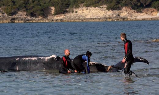 Parla veneto il difensore delle balene