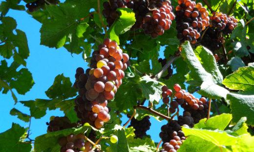 Energia elettrica dalla feccia del vino: ora si può