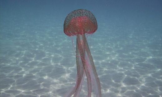Tante meduse a fine agosto? Un segnale di ritorno alla normalità