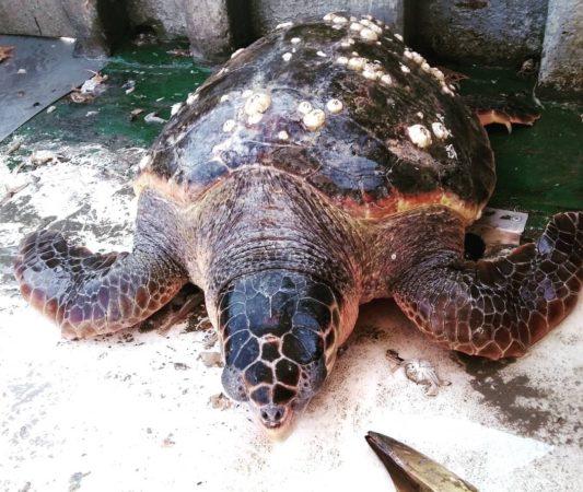 Una tartaruga salvata dallo spiaggiamento