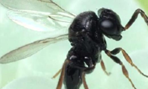 Pronte a entrare in azione le vespe samurai. Combatteranno la cimice asiatica