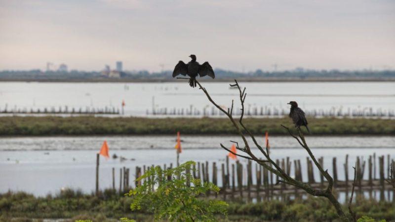 Marangone nella laguna di Venezia