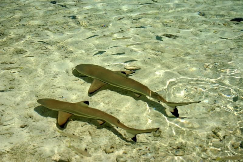Polinesia squaletti nelle acque di Rangiroa