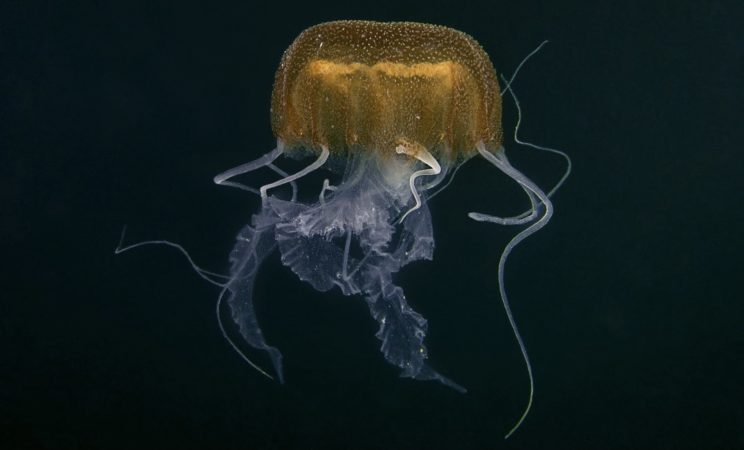 La medusa Pelagia benovici @biologiamarina.org