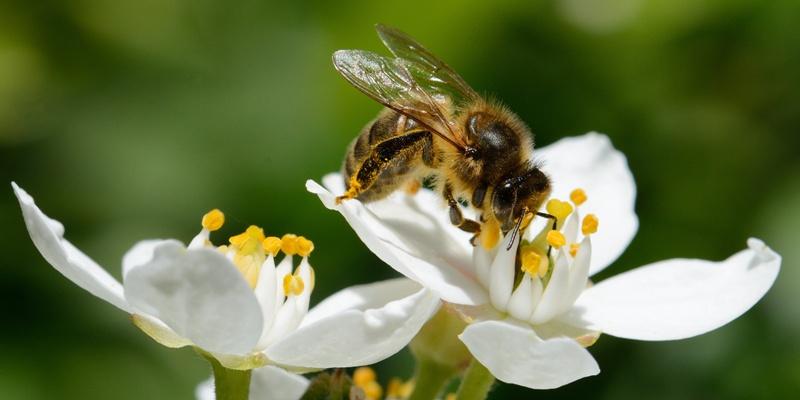 Biodiversità: la direttiva che tutela gli insetti impollinatori