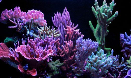 Il canto dei coralli