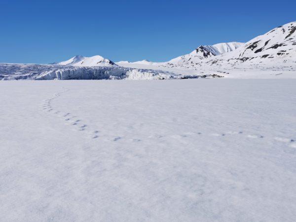 Polar bear orme