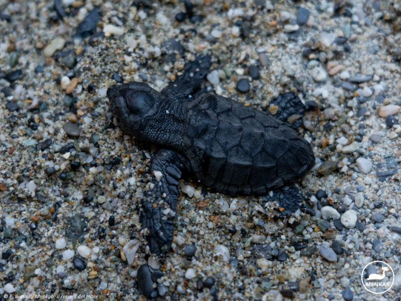 Tartaruga marina Caretta caretta: primo caso di nidificazione in Liguria