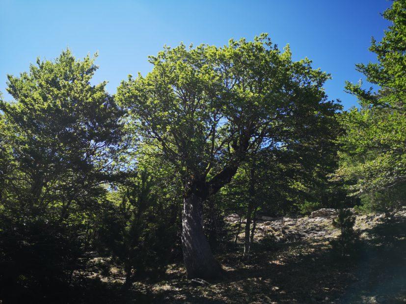 Demetra: è sull'Aspromonte la quercia più antica del mondo