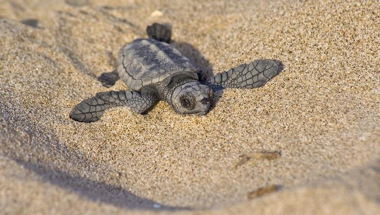 """Boom di nidificazioni di tartarughe in Italia. Gli esperti: """"preoccupante"""""""