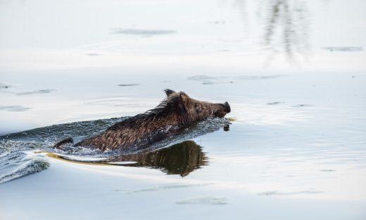 Dopo i delfini e il capriolo, in laguna, a Venezia, è il tempo dei cinghiali